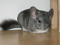 Male Chinchilla + All Supplies
