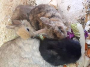 Petit lapins domestiques  à vendre