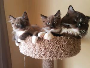 Mink Ragdoll Kittens
