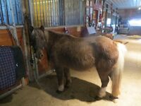 under 11hds ponys bomproof 1st time pet hard to find