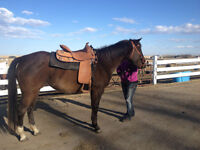 2012 APHA Mare For Sale