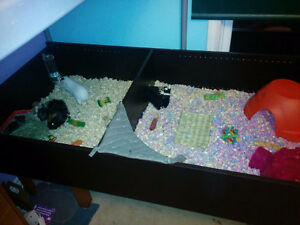 4 Female Guinea Pigs + Home