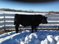 Two Year Old Simmental Bulls