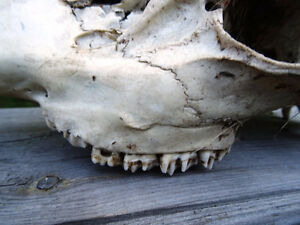 ANTELOPE SKULL with TEETH man cave cottage SCIENCE Art Deco Cambridge Kitchener Area image 7