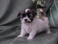 Tiny Shih Tzu x Maltese Puppies