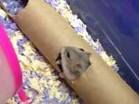 Healthy, young dwarf hamster