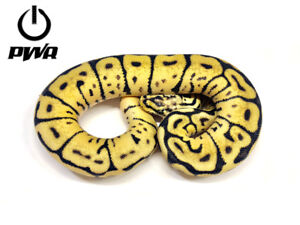 Available Ball Pythons!