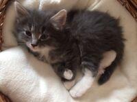 Beautiful blue/grey Bombay x BSH kittens