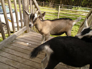 Alpine Milking goats