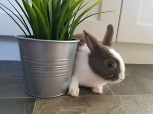 Only 2 left!  11 week old Baby Netherland Dwarf Bunnies