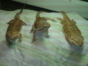 FIVE teenager bearded dragons