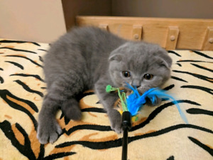 Wow! Great price! Pure breed Scottish fold!!!