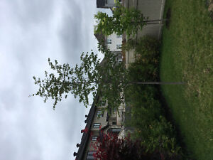 Two trees for sale - Japanese Lilac ($85) & Serviceberry ($200)