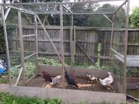 Chickens,ducks and pen