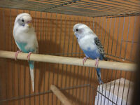 COUPLE PERRUCHES ARLEQUIN ONDULEE 8-10 mois + cage