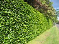 Green Beech Hedging - Bare Root