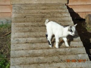 Pygmy goat for sale