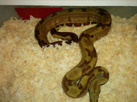 Snakes for sale\trade for Honduran+ other milk snakes