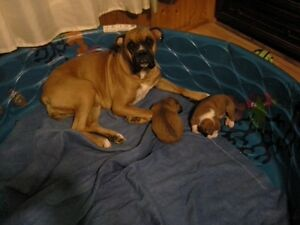 2boxer puppies