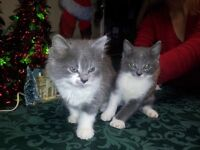 4 kittens to give away  to a good and loveing home
