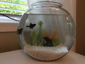 2 Moor Goldfish for Sale + Everything Included!