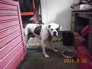 ~ ONLY 1 SUPER GORGEOUS ALL WHITE/ B-PATCHE BOXER PUP LEFT ~