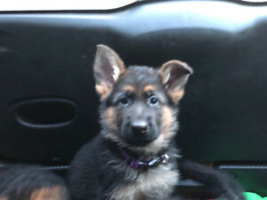 Top Quality German Shepherd Puppies For Sale!