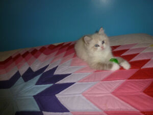 Beautiful High Quality TICA Registered Ragdoll Kittens(5 Babies""