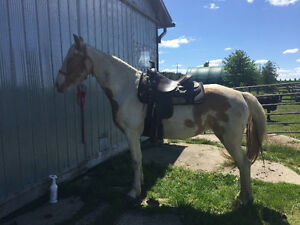 Gorgeous 3 year old Tennesse Walker for sale