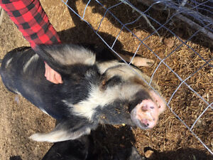 Berkshire Sow for sale