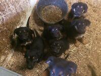 Big chunky Rottweiler X German Shepherd puppies