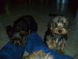 2 adorable morkie puppies for sale