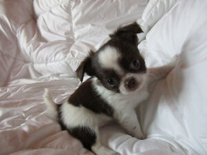 CKC reg. Chihuahua puppies for sale