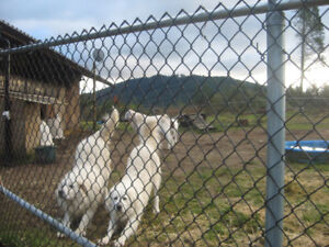 SUPER NICE GOATS FOR SALE !!!!!