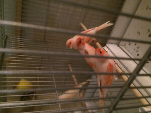 One male one female goldfinch and canary for sale