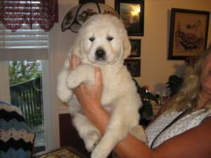 Golden Retriever Puppies-English Cream-sold pending pick up