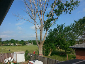 **TREECUTTER ** Tree removal and trimming of trees stump hedge Kitchener / Waterloo Kitchener Area image 4