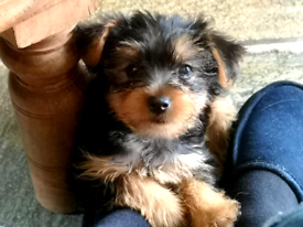 Teacup | Dogs & Puppies for Sale - Gumtree