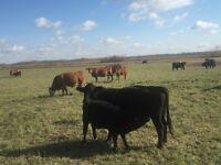 230 hd Dispersal Cow & Heifer Sale