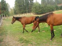 2 - 7 year old thoroughbred mares