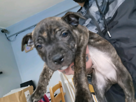 Staffordshire bull terrier puppies 8 week's