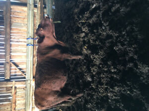 Two red angus cows for sale
