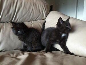 Two 8 week old kittens to rehome