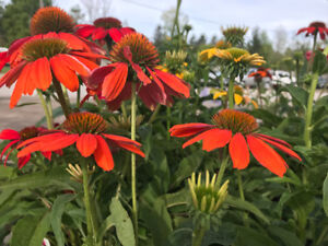 Annuals and Perennials for Sale | Courtice Flea Market