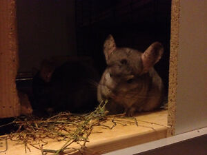 Alfalfa for Young Chinchillas, Guinea Pigs, and Rabbits