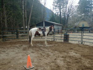 Project 7 year old Gelding, Quarter Horse cross Thoroughbred