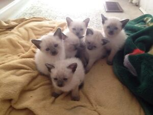 Beautiful Siamese kittens