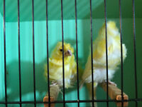 Parisian frill canaries and new Cages  for sale