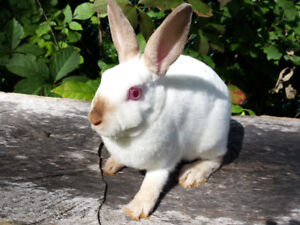 Bebe lapin mini rex nain * dwarf mini rex rabbit