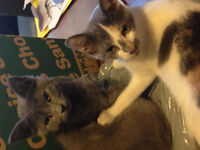 two bonded female kittens FREE to good Home